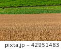 畑 農業 麦畑の写真 42951483