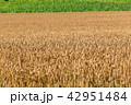 畑 農業 麦畑の写真 42951484