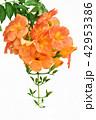 ノウゼンカズラ 花 オレンジ色の写真 42953386