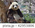 パンダ 動物 ジャイアントパンダの写真 42953806