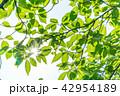 葉 葉っぱ 新緑の写真 42954189