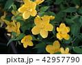ヤマブキ 花 植物の写真 42957790