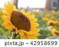 向日葵 ひまわり 花の写真 42958699