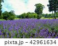 ラベンダー ラベンダー畑 夏の写真 42961634