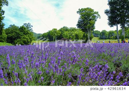 紫のラベンダーパーク3 42961634