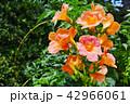 花 ノウゼンカズラ アップの写真 42966061