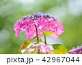 花 紫陽花 アジサイの写真 42967044
