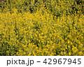 菜の花 菜の花畑 花の写真 42967945