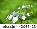 ガクアジサイ 紫陽花 花の写真 42968423