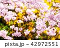 花 さくら 桜の写真 42972551
