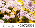 花 さくら 桜の写真 42972554