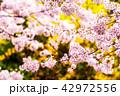 花 さくら 桜の写真 42972556