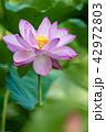 蓮 花 ピンクの写真 42972803