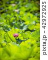蓮 花 ピンクの写真 42972925