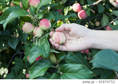A woman hand picking a red ripe apple from the apple tree 42974752