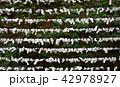 日本 京都 おみくじ Japan Kyoto Omikuji 42978927