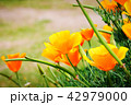 花 フラワー オレンジの写真 42979000