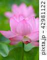蓮 花 植物の写真 42981122