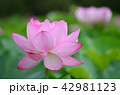 蓮 花 植物の写真 42981123