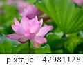 蓮 花 植物の写真 42981128