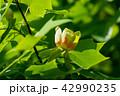 植物 花 ユリノキの写真 42990235