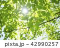 新緑 葉 若葉の写真 42990257