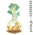 野菜 新玉ねぎ 白バックのイラスト 42998648