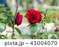 士林官邸花卉 台湾台北士林官邸の植物 Presidential Residence Garden 43004070