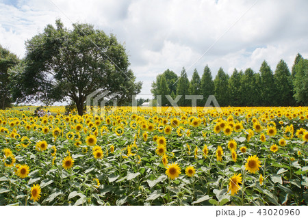 ひまわり畑 43020960