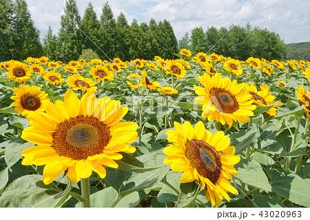 ひまわり畑 43020963