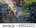 黄島 猫 動物の写真 43022321