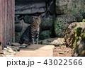 黄島 猫 動物の写真 43022566