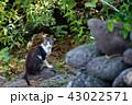 黄島 猫 動物の写真 43022571