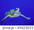 アオウミガメ 亀 泳ぐの写真 43023623