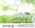 新芽 芽 芽生えの写真 43023723