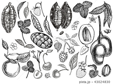 Set of graphic botanical illustration. Mango Fruit, Cacao and Berries strawberry, raspberry, apple 43024830