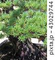 五葉松 盆栽 葉の写真 43029744