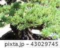 五葉松 盆栽 葉の写真 43029745