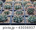 さぼてん サボテン 仙人掌の写真 43036937