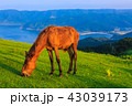 都井岬 夜明け 御崎馬の写真 43039173