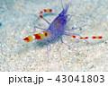 水中 バイオレットコーラルシュリンプ 海中の写真 43041803