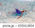 水中 バイオレットコーラルシュリンプ 海中の写真 43041804