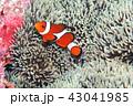 カクレクマノミ イソギンチャク 43041985