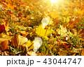 葉 草 芝の写真 43044747