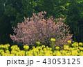 桜 八重桜 春の写真 43053125