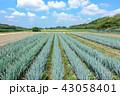 見沼田んぼ 青空とネギ畑 43058401