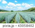 見沼田んぼ 青空とネギ畑 43058402