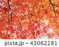 秋 紅葉 楓の写真 43062281