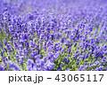 ラベンダー ラベンダー畑 花畑の写真 43065117