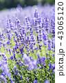 ラベンダー ラベンダー畑 花畑の写真 43065120
